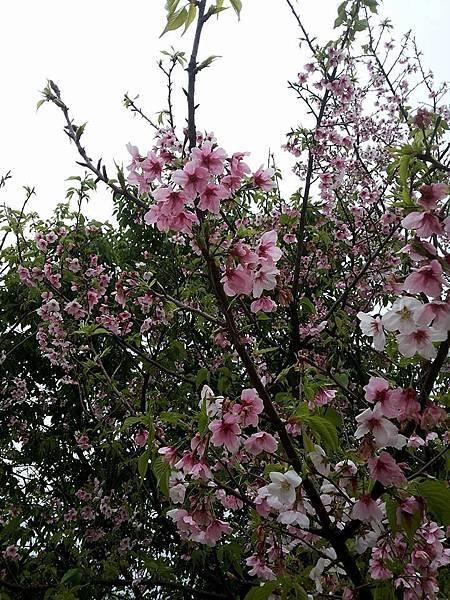 櫻花19.jpg