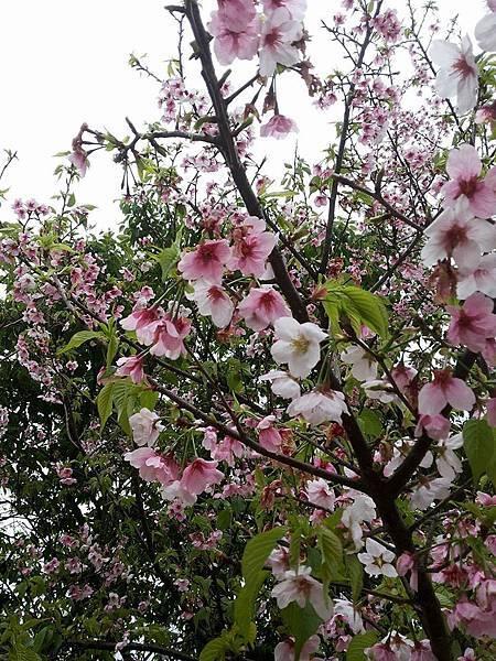 櫻花20.jpg