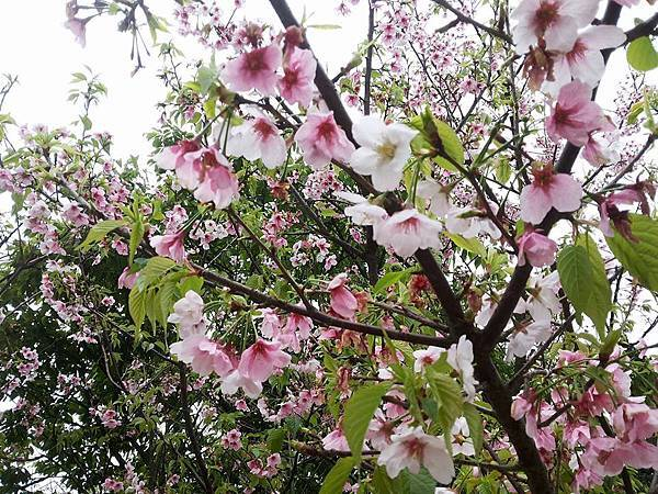 櫻花21.jpg