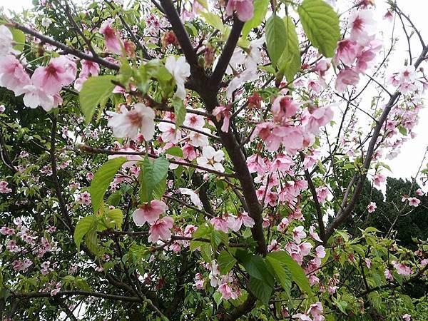 櫻花22.jpg