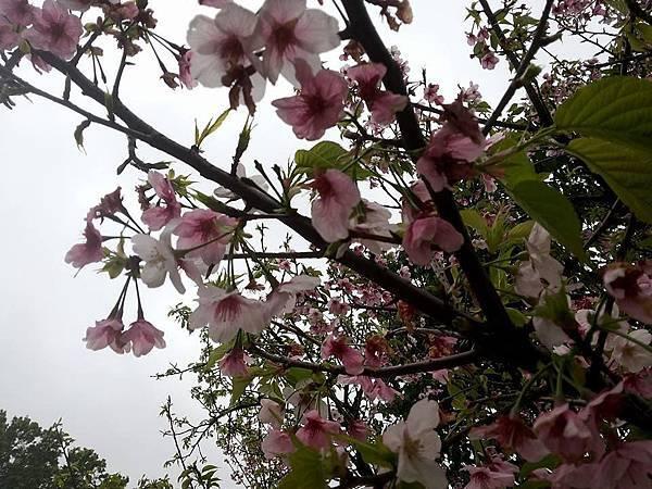 櫻花26.jpg