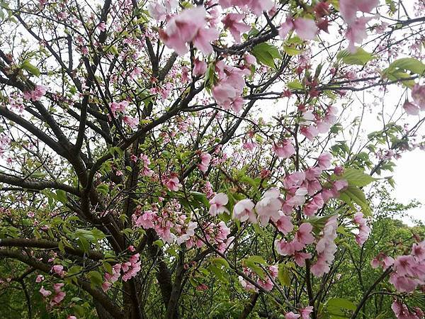 櫻花24.jpg