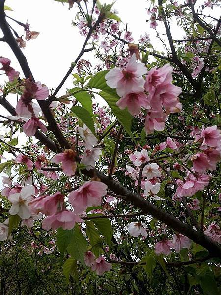 櫻花25.jpg