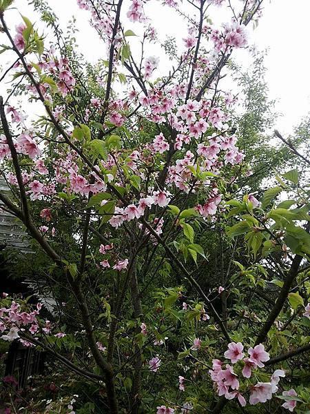 櫻花29.jpg