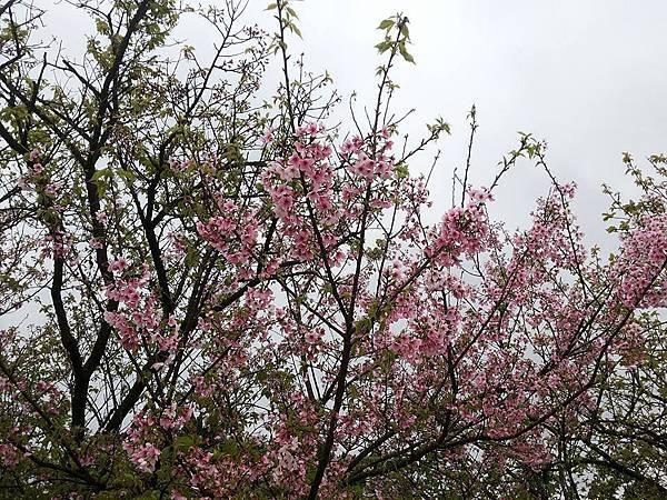 櫻花35.jpg