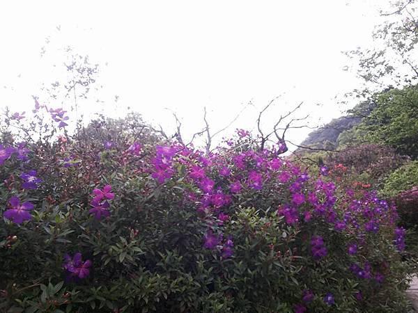 巴西野牡丹5.jpg