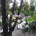 石斑木16.jpg