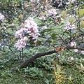 石斑木15.jpg
