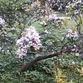 石斑木18.jpg