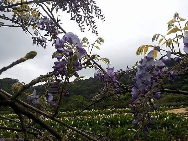 紫藤4.jpg