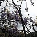 紫藤5.jpg