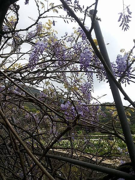 紫藤7.jpg