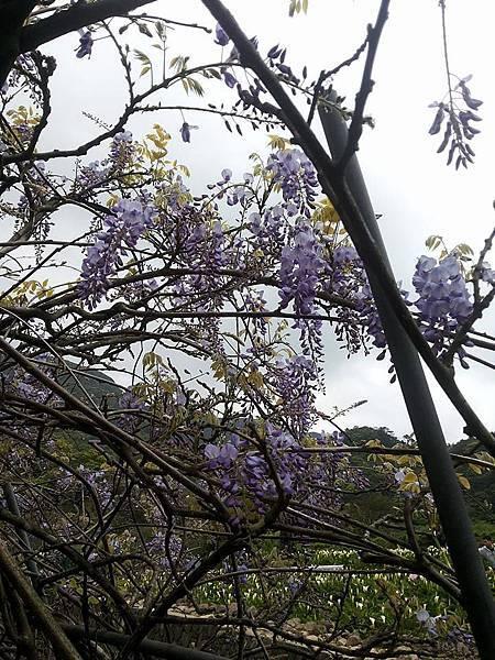 紫藤6.jpg