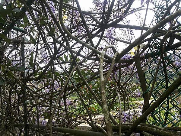 紫藤9.jpg
