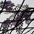 紫藤11.jpg