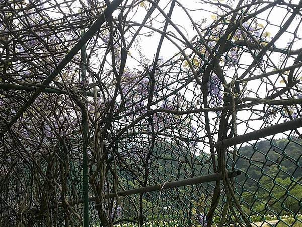 紫藤14.jpg