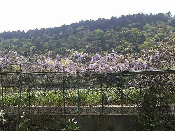 紫藤16.jpg