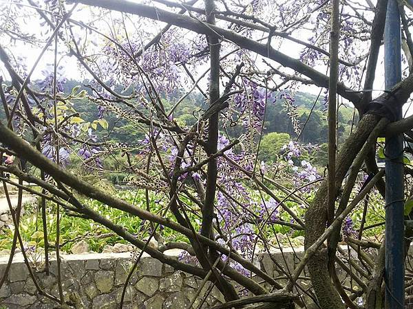 紫藤17.jpg