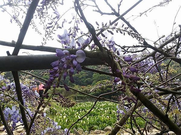 紫藤19.jpg