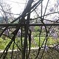 紫藤20.jpg