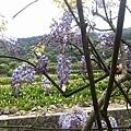 紫藤21.jpg