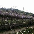紫藤22.jpg