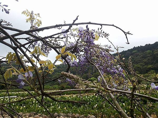 紫藤29.jpg