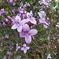 紫色小花23