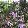 紫色小花24