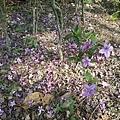 紫色小花33