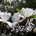 櫻花3.jpg