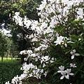櫻花7.jpg