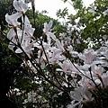 櫻花10.jpg