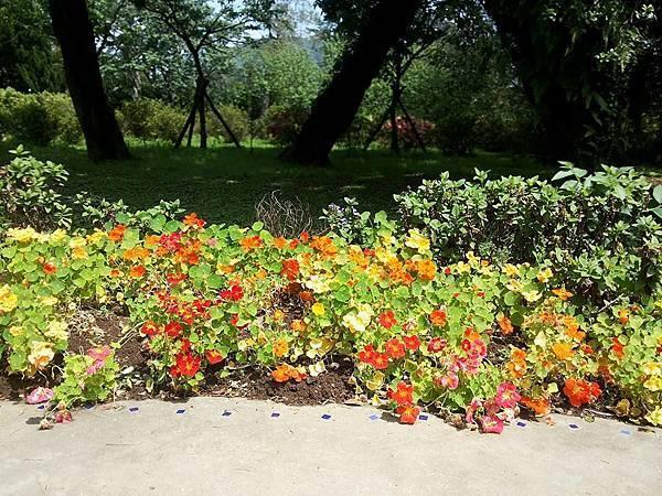 斑葉金蓮花1