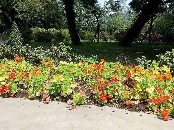 斑葉金蓮花2