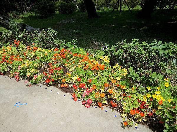 斑葉金蓮花4