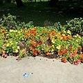 斑葉金蓮花3