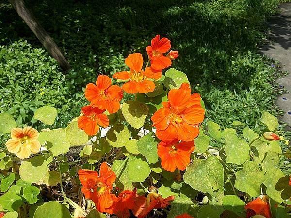 斑葉金蓮花5
