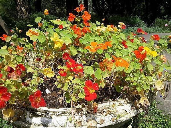 斑葉金蓮花6