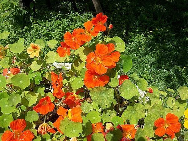 斑葉金蓮花7