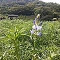 魯冰花34.jpg