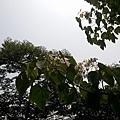 桐花12.jpg