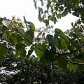 桐花14.jpg