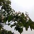 桐花18.jpg