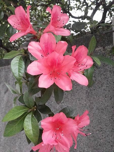 杜鵑花3.jpg