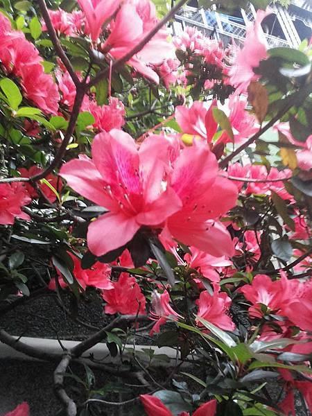 杜鵑花4.jpg