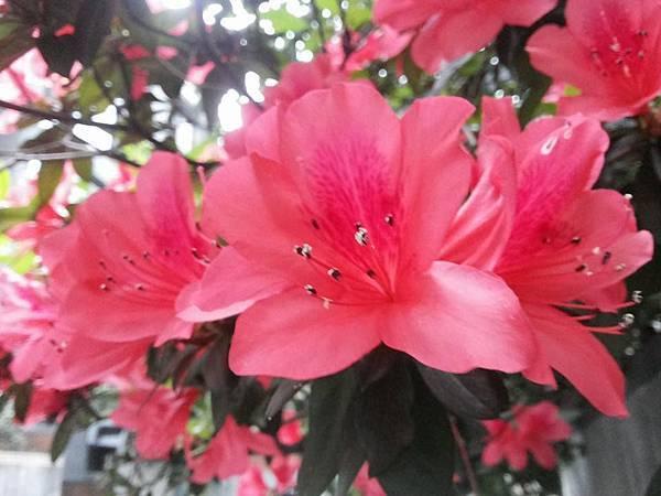杜鵑花12.jpg