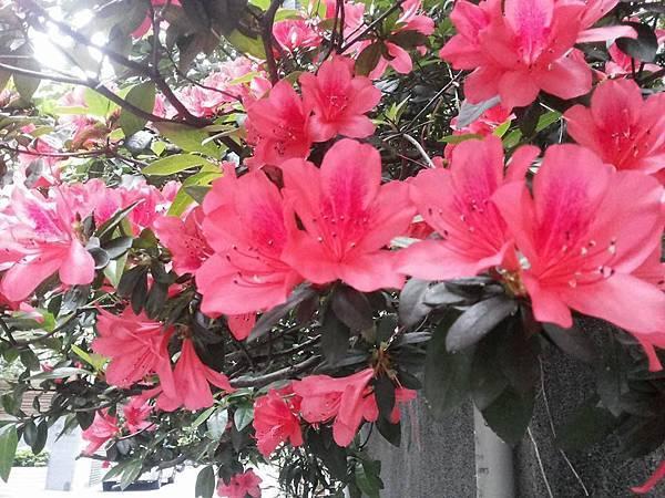杜鵑花14.jpg