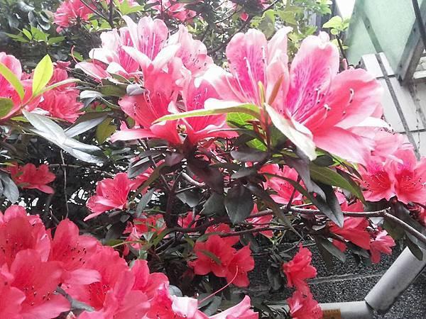 杜鵑花22.jpg