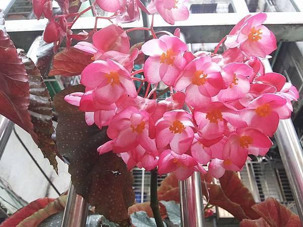 秋海棠1.jpg